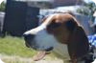 Coonhound/Treeing Walker Coonhound Mix Dog for adoption in Cleveland, Ohio - Derby