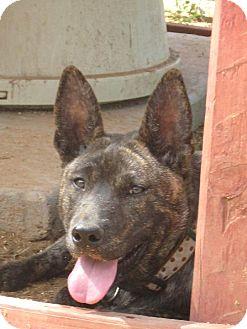 German Shepherd Dog/American Pit Bull Terrier Mix Dog for adoption in Las Cruces, New Mexico - Grammer