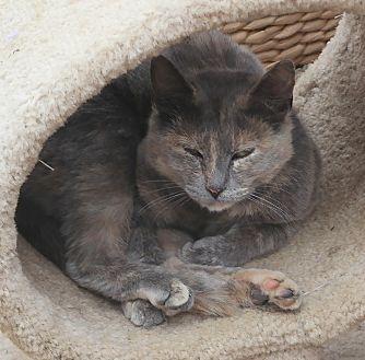 Calico Cat for adoption in San Pablo, California - LITTLE MARIA