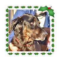 Adopt A Pet :: Livvie - New Canaan, CT