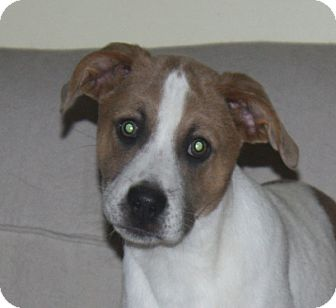 Shepherd (Unknown Type) Mix Puppy for adoption in kennebunkport, Maine - Carley - in Maine