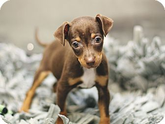 Miniature Pinscher Mix Puppy for adoption in Marietta, Georgia - Caramel