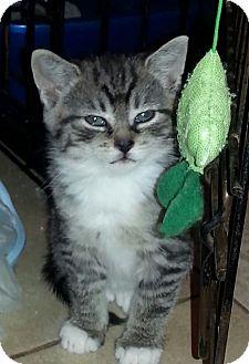 Domestic Shorthair Kitten for adoption in River Edge, New Jersey - Rain