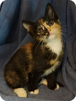Calico Kitten for adoption in Pleasanton, California - Tiramisu