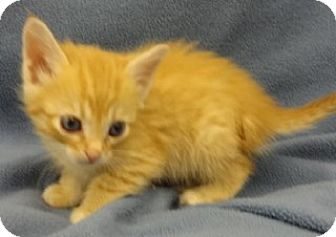 Domestic Shorthair Kitten for adoption in Olive Branch, Mississippi - Lana