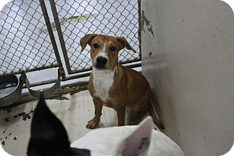 Pit Bull Terrier Mix Dog for adoption in Odessa, Texas - A25 MICKEY