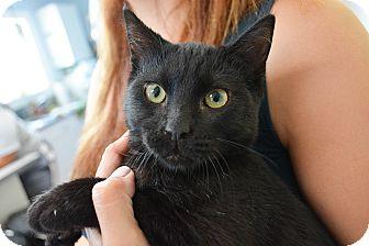 American Shorthair Kitten for adoption in Los Angeles, California - Jem