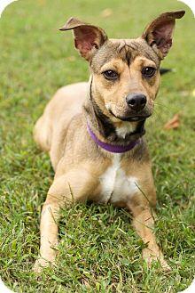 Shepherd (Unknown Type) Mix Puppy for adoption in Washington, D.C. - Emmie