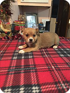 Jack Russell Terrier/Beagle Mix Puppy for adoption in Kittery, Maine - Colby