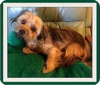 Shih Tzu/Border Terrier Mix Dog for adoption in Rancho Cucamonga, California - Jake