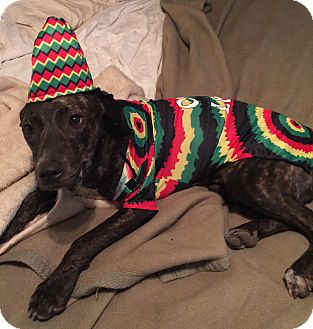 Whippet/Terrier (Unknown Type, Medium) Mix Dog for adoption in Hebron, Ohio - Lil'bit