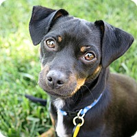 Adopt A Pet :: Ozzie - Bellflower, CA