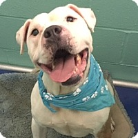 Adopt A Pet :: Pinto - Greensboro, NC