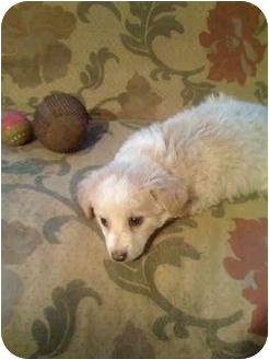 Cocker Spaniel Mix Puppy for adoption in Westport, Connecticut - Honey Muffin