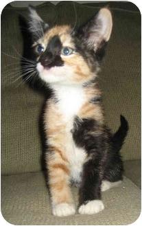 Domestic Shorthair Kitten for adoption in Davis, California - Arwyn