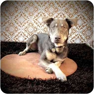 Chesapeake Bay Retriever/Doberman Pinscher Mix Dog for adoption in Portland, Oregon - Bones