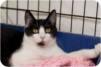 Domestic Shorthair Kitten for adoption in Westbrook, Maine - Trooper