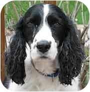 English Springer Spaniel Dog for adoption in Minneapolis, Minnesota - Cassie (MN)