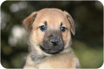 Australian Shepherd/Labrador Retriever Mix Puppy for adoption in Austin, Texas - Shiner