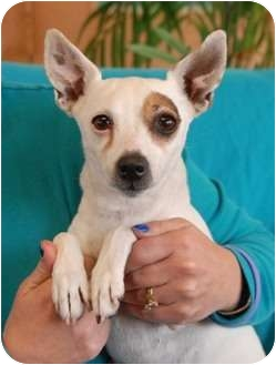 Jack Russell Terrier Mix Dog for adoption in Las Vegas, Nevada - Angel