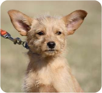 Terrier (Unknown Type, Small) Mix Puppy for adoption in Broomfield, Colorado - Cub