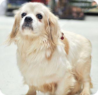 Tibetan Spaniel Mix Dog for adoption in Howell, Michigan - Jenny