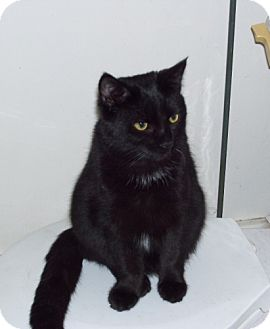 Domestic Shorthair Cat for adoption in Rochester, New York - G Cracker
