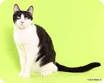 Domestic Shorthair Kitten for adoption in Las Vegas, Nevada - Asterick