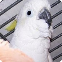 Cockatoo for adoption in Northbrook, Illinois - Papua