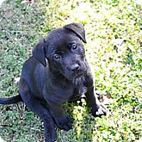 Adopt A Pet :: Shea - Cumming, GA