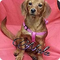 Adopt A Pet :: Nala - St. Robert, MO