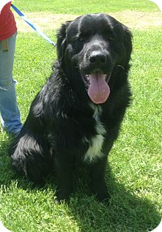 Newfoundland Dog for adoption in New Milford, Connecticut - Shiloh