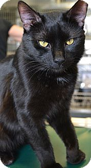 Domestic Shorthair Cat for adoption in Manahawkin, New Jersey - MJ
