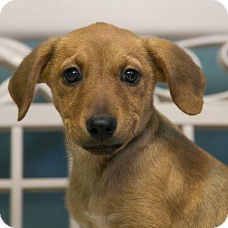 Shepherd (Unknown Type)/Labrador Retriever Mix Puppy for adoption in Staunton, Virginia - Harmony