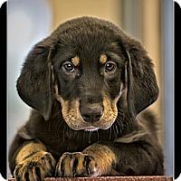 Adopt A Pet :: Belle - Wickenburg, AZ