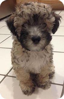 Poodle (Miniature) Mix Puppy for adoption in Encino, California - Macchiato - Hernandez pup