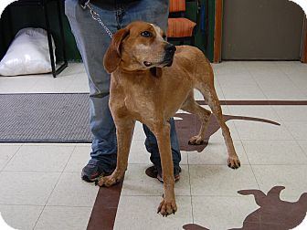 Redtick Coonhound Dog for adoption in North Judson, Indiana - Wilma