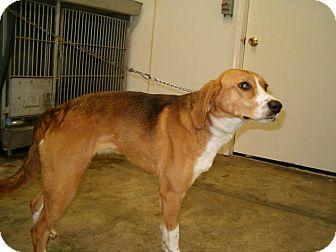 Shepherd (Unknown Type)/Collie Mix Dog for adoption in Upper Sandusky, Ohio - sassie