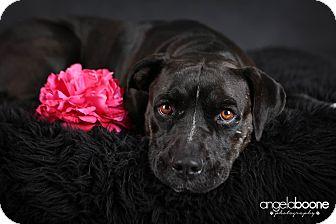 Pit Bull Terrier/Labrador Retriever Mix Dog for adoption in Minneapolis, Minnesota - Kiva