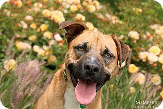 Mastiff Mix Dog for adoption in Portland, Oregon - MEMPHIS