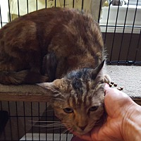 Domestic Shorthair Cat for adoption in Berkeley Hts, New Jersey - Faline