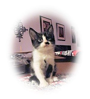 Domestic Shorthair Kitten for adoption in Olmsted Falls, Ohio - Belle