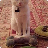 Adopt A Pet :: Snowball - Monroe, GA