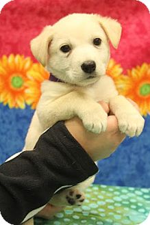 Labrador Retriever/Shepherd (Unknown Type) Mix Puppy for adoption in Hagerstown, Maryland - Faith