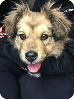 Corgi/Spaniel (Unknown Type) Mix Puppy for adoption in Regina, Saskatchewan - Adoption Pending - Chance