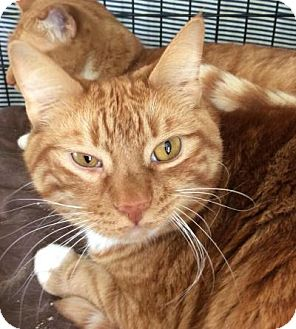 Domestic Shorthair Cat for adoption in Breinigsville, Pennsylvania - Glenn