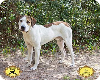 Hound (Unknown Type) Mix Dog for adoption in Jacksonville, Florida - Ben