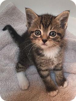 Domestic Shorthair Kitten for adoption in Merrifield, Virginia - Kasmira