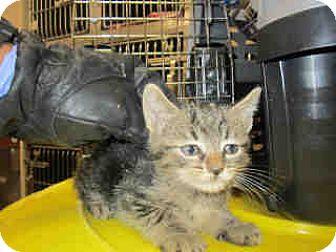 Domestic Shorthair Kitten for adoption in Newnan City, Georgia - Sundae
