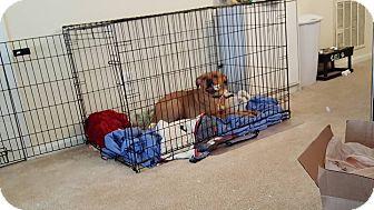 Labrador Retriever/American Staffordshire Terrier Mix Puppy for adoption in sanford, North Carolina - Bella